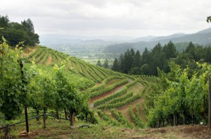 Beautiful vineyard growing grapes in Napa Valley, California